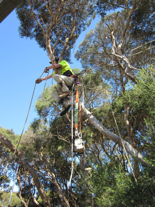 macrae horticultrue tree climbing and felling 2