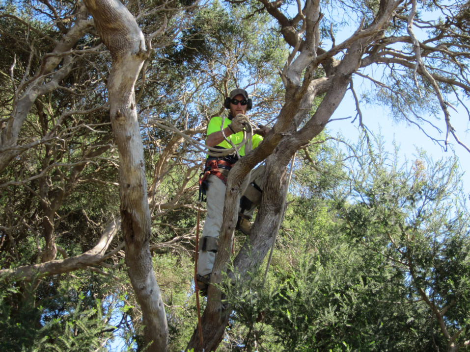 macrae horticultrue tree climbing and felling 3