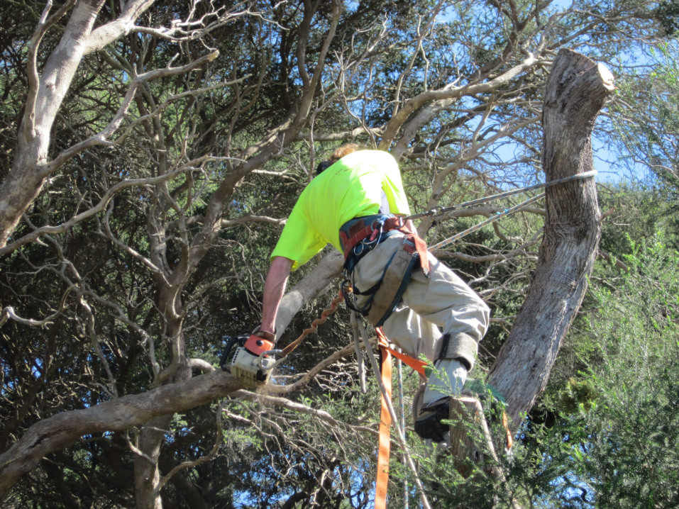 macrae horticultrue tree climbing and felling 4