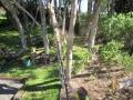 macrae horticultrue tree cutting 2